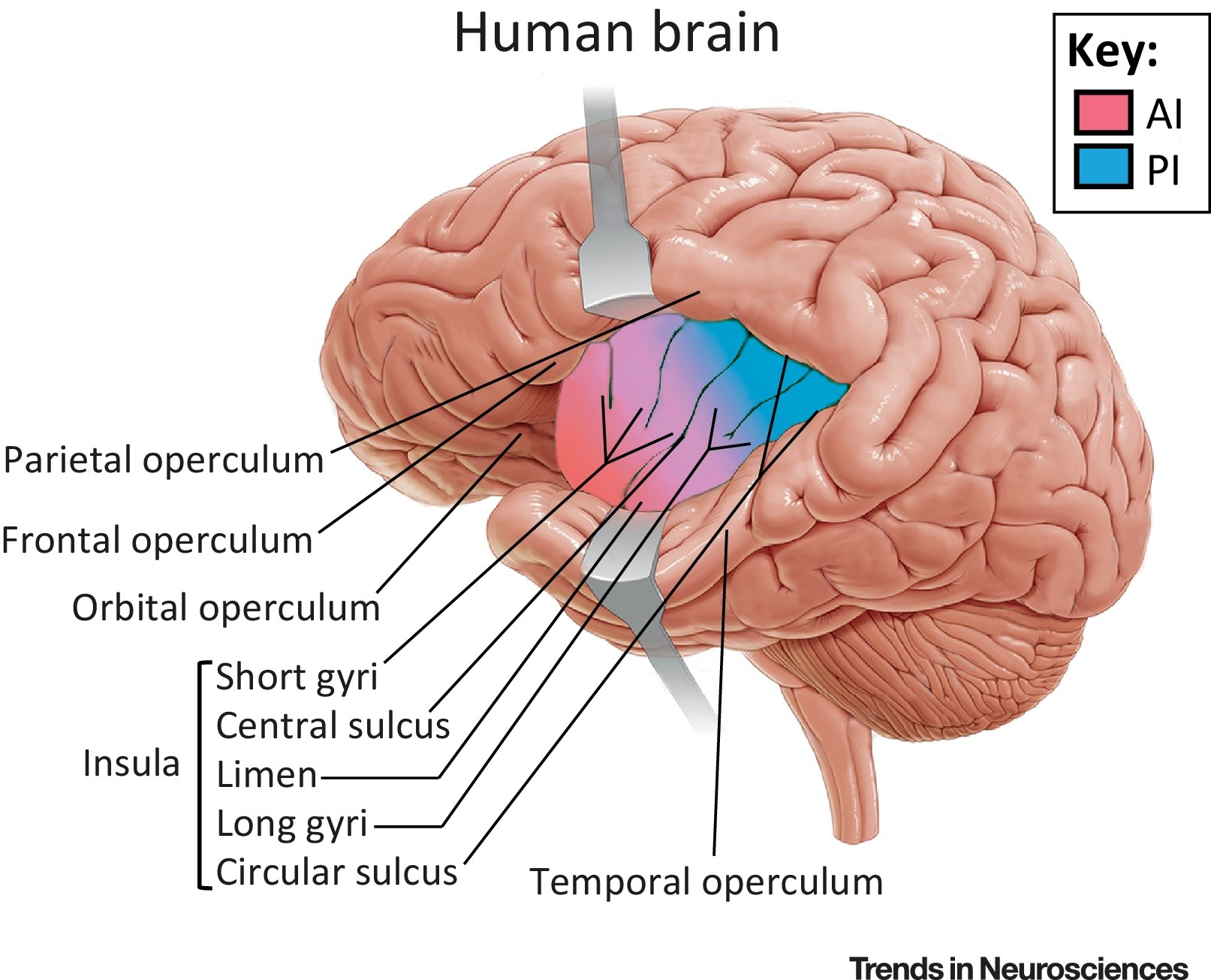 human brain diagram cerebrum bryant air conditioning wiring the insula an underestimated area in clinical