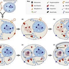Eukaryotic Endomembrane System Cell Diagram 2 Lights 1 Switch Wiring Uk Bacterial Vesicle Secretion And The Evolutionary Origin Of