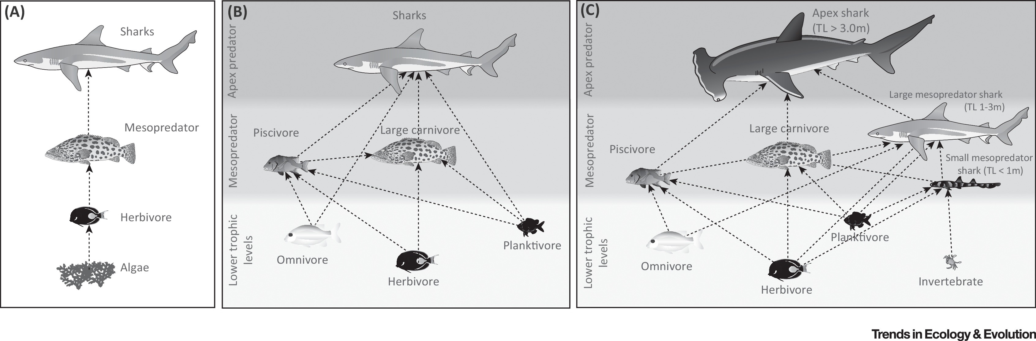 The Ecological Role Of Sharks On Coral Reefs Trends In