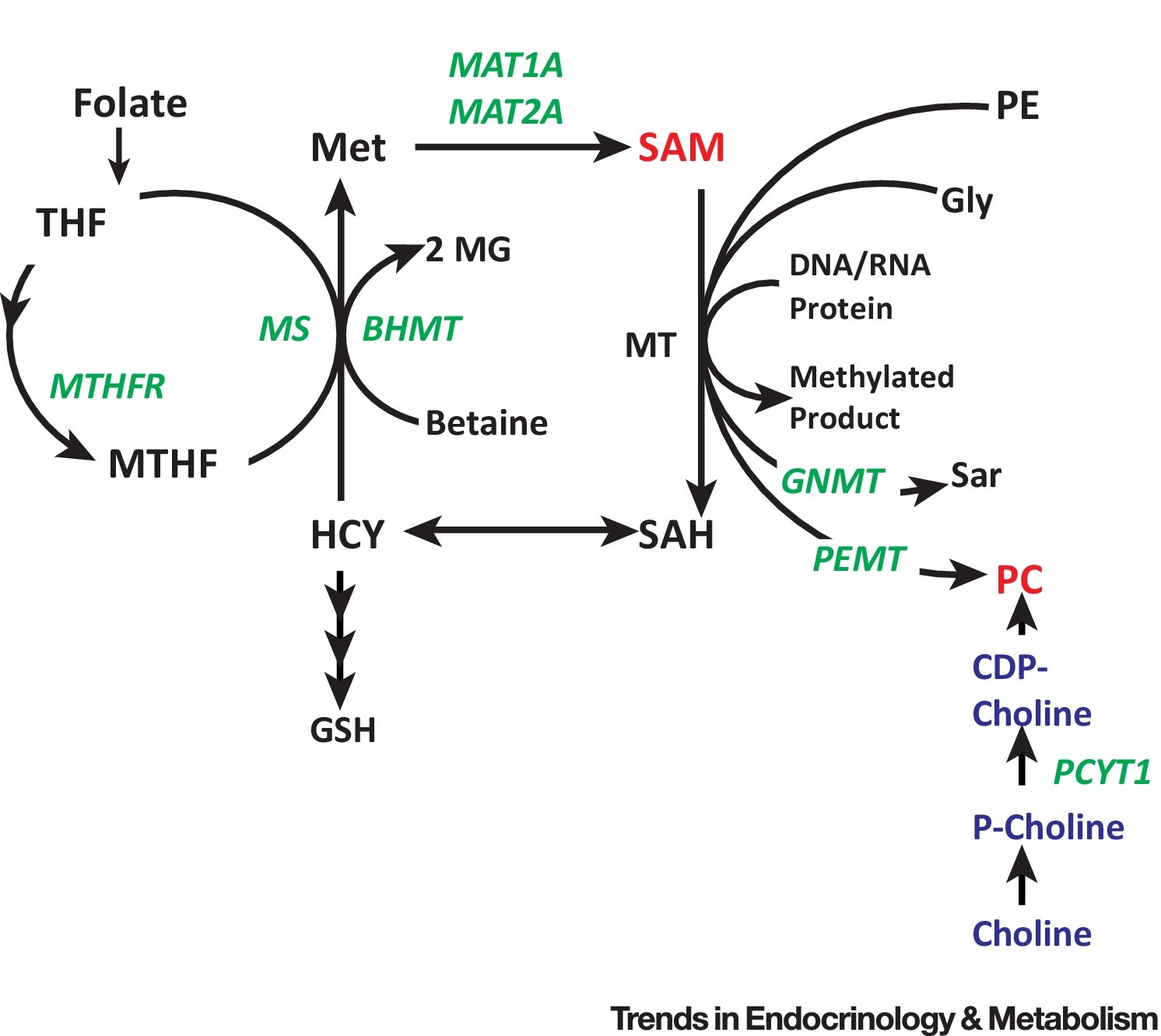 1 Carbon Cycle Metabolites Methylate Their Way To Fatty