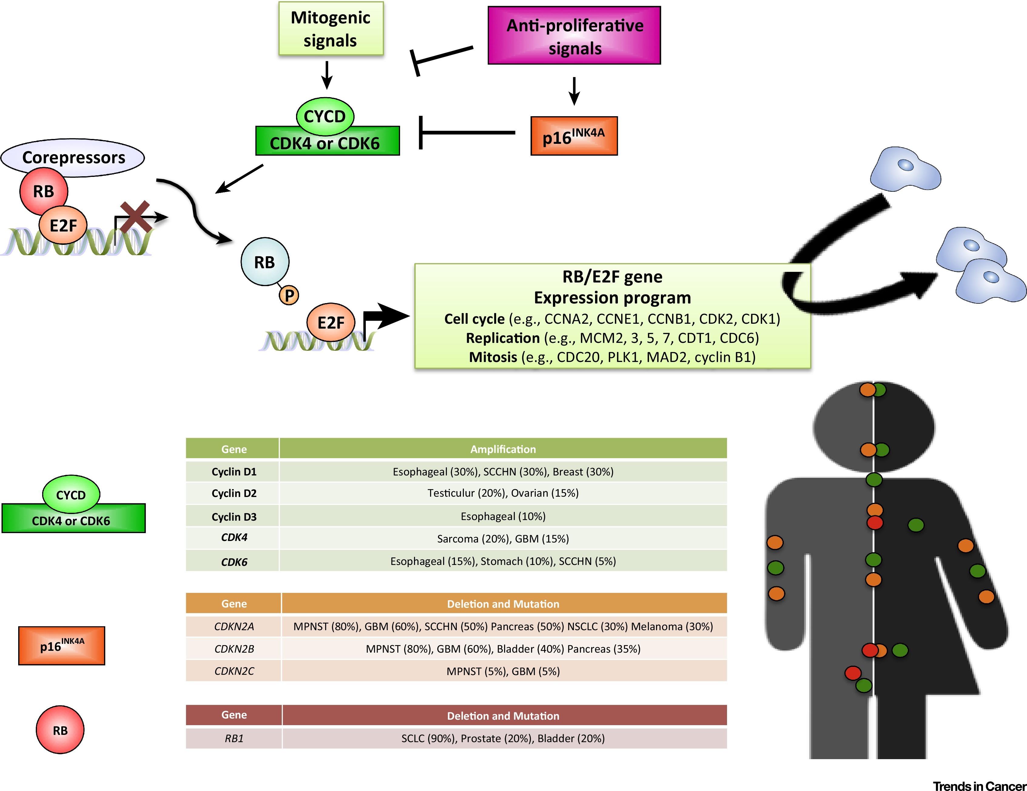 The Strange Case Of Cdk4 6 Inhibitors Mechanisms