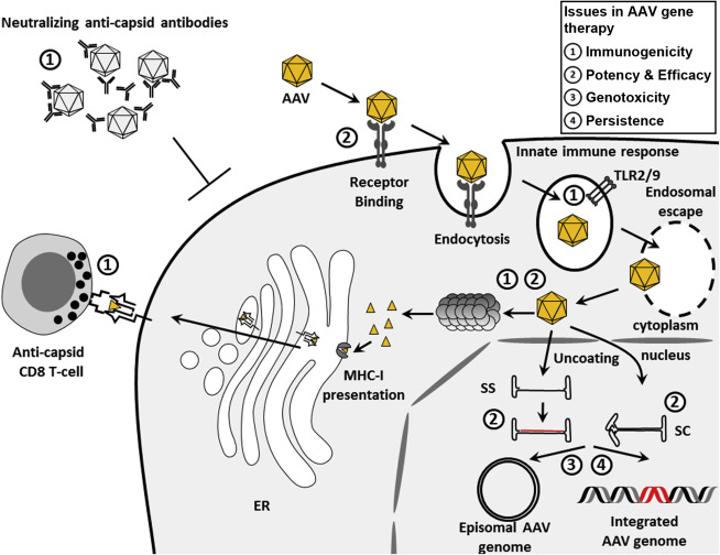 Emerging Issues in AAV-Mediated In Vivo Gene Therapy
