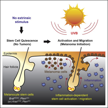 Melanocyte Stem Cell Activation and Translocation Initiate