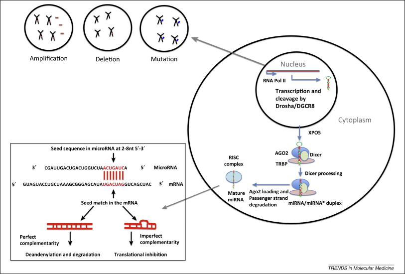 MicroRNAs in cancer: biomarkers, functions and therapy