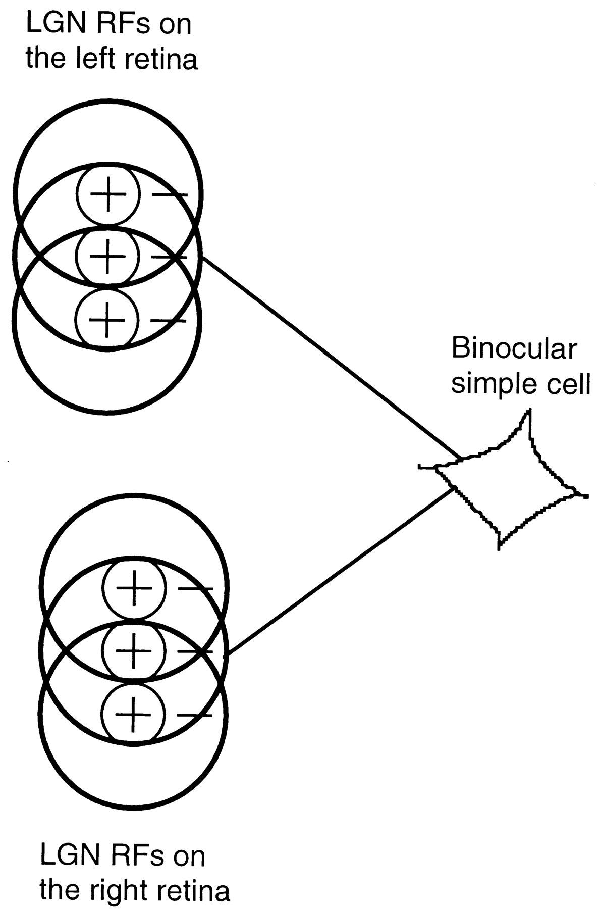 Binocular Disparity And The Perception Of Depth Neuron