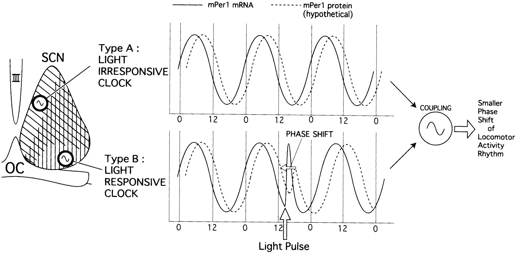 Light Induced Resetting Of A Mammalian Circadian Clock Is Associated With Rapid Induction Of The