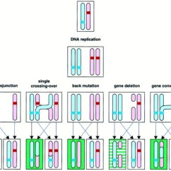 6 Chromosomes Crossing Over Diagram Dual Xdm16bt Wiring Revertant Mosaicism In Epidermolysis Bullosa Caused By Mitotic Gene Conversion: Cell