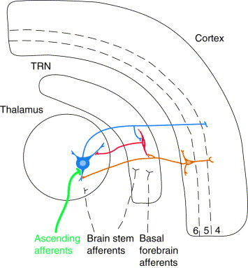 Paying attention to the thalamic reticular nucleus: Trends