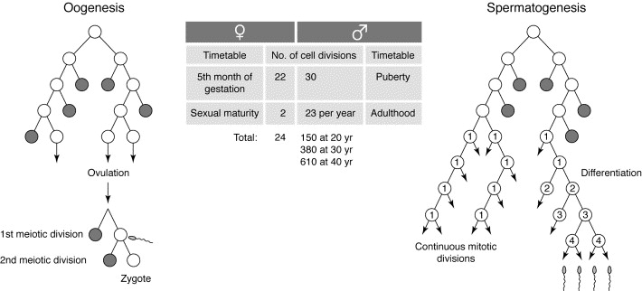 Sex biases in the mutation rate: Trends in Genetics
