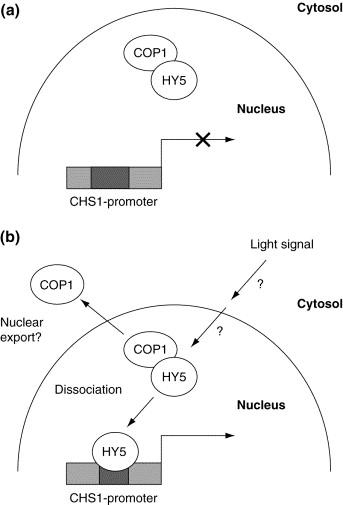 The regulation of transcription factor activity in plants