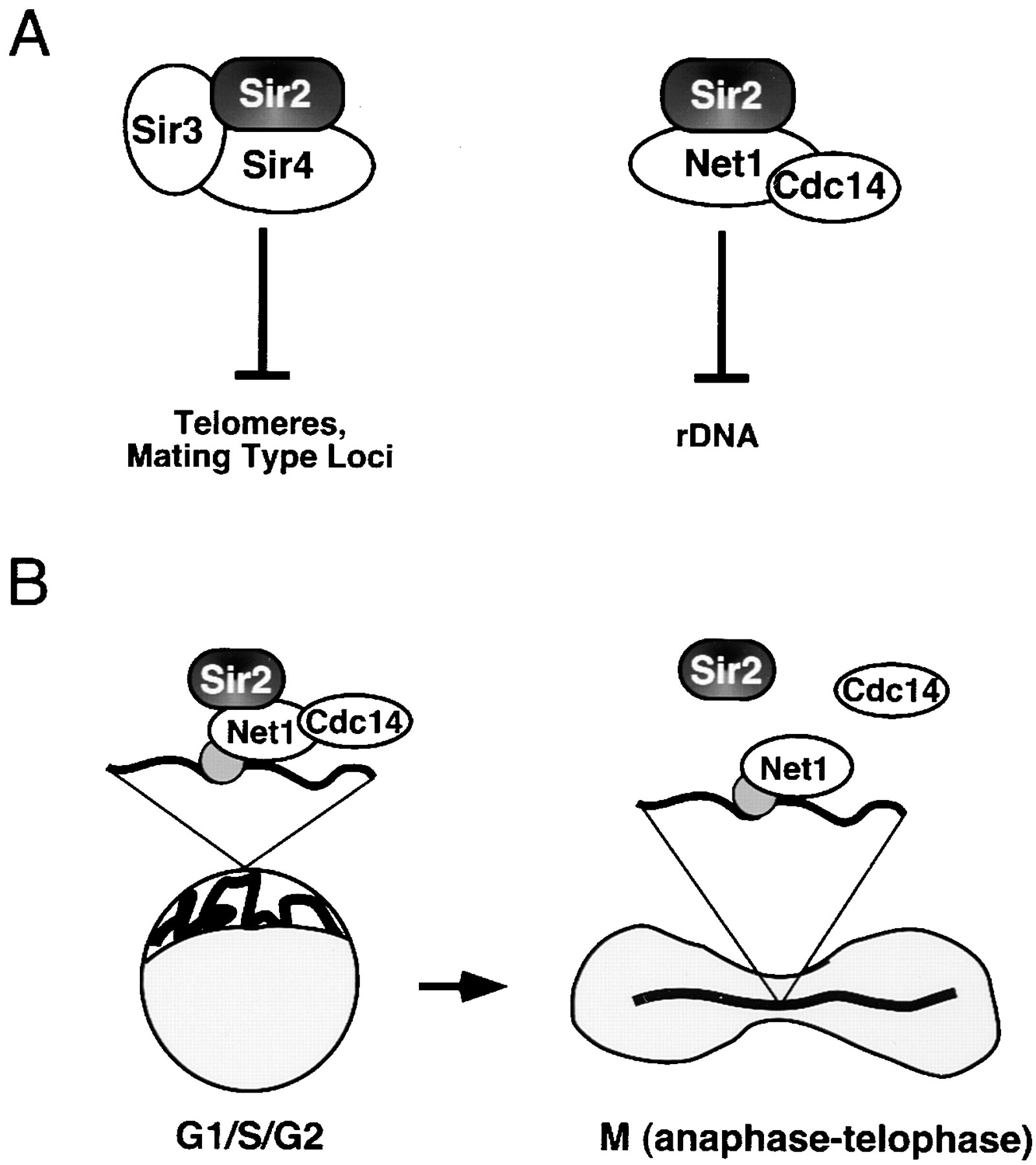 Net1, a Sir2-Associated Nucleolar Protein Required for