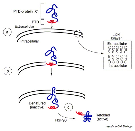 Protein transduction: unrestricted delivery into all cells