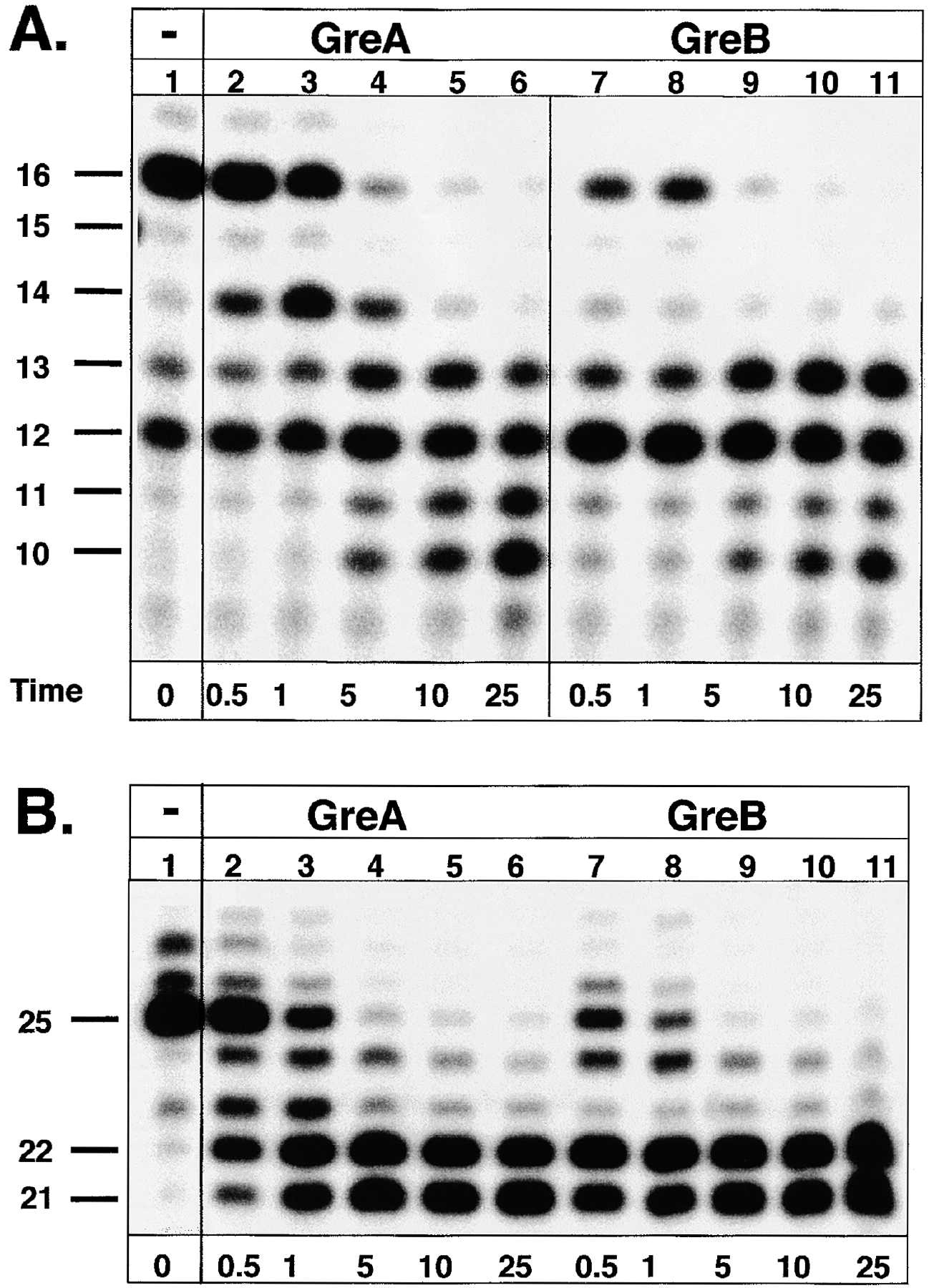Function of Transcription Cleavage Factors GreA and GreB