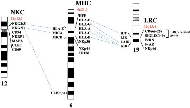 Genetic and Functional Relationships between MHC and NK