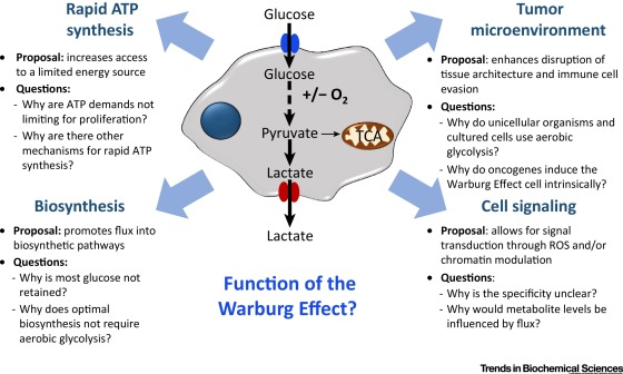 glycolysis cycle diagram 2002 ford escape stereo wiring the warburg effect: how does it benefit cancer cells?: trends in biochemical sciences