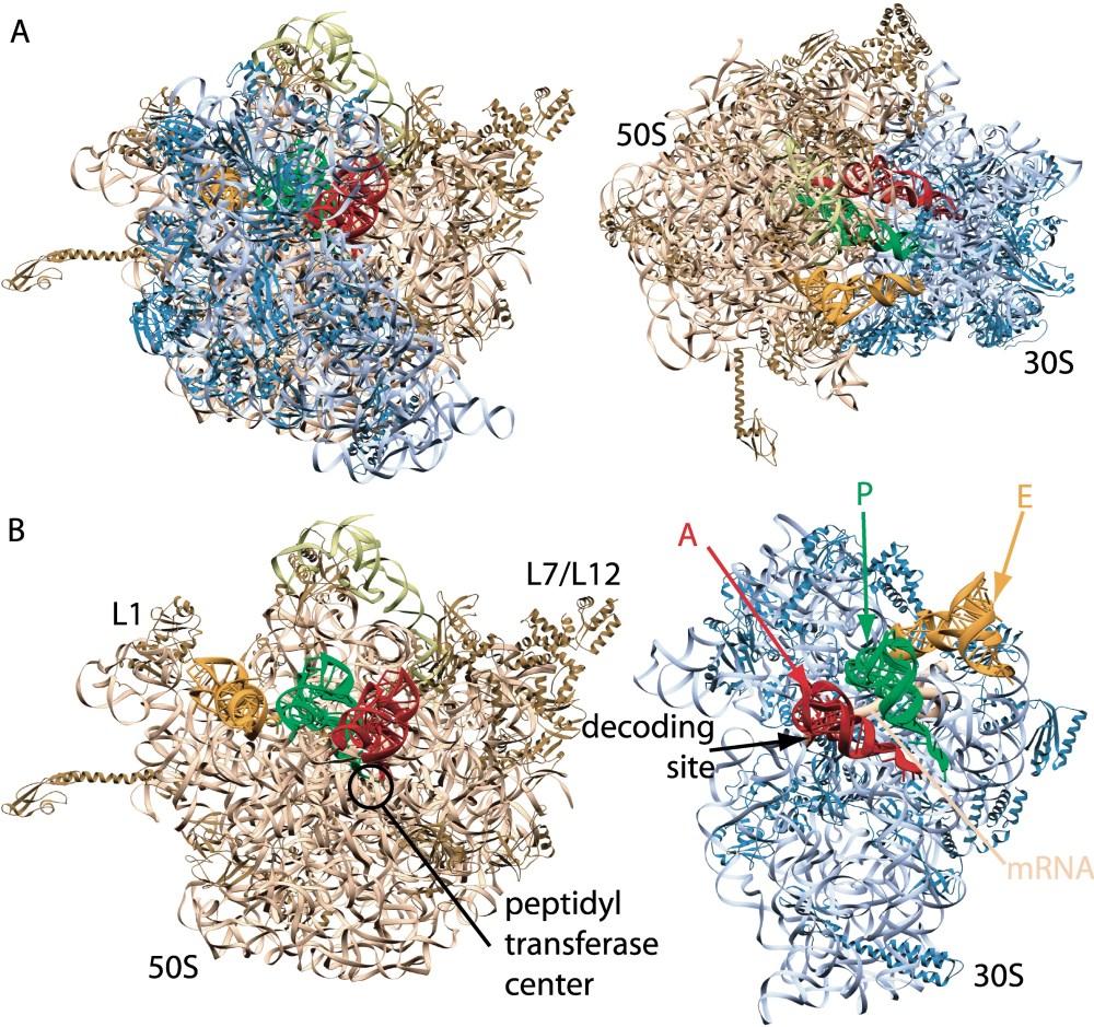 medium resolution of ribosome diagram download