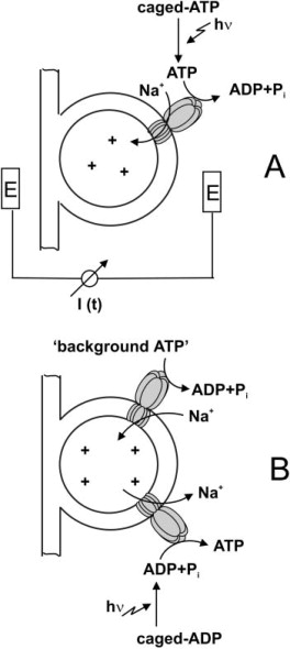 Charge Displacements during ATP-Hydrolysis and Synthesis