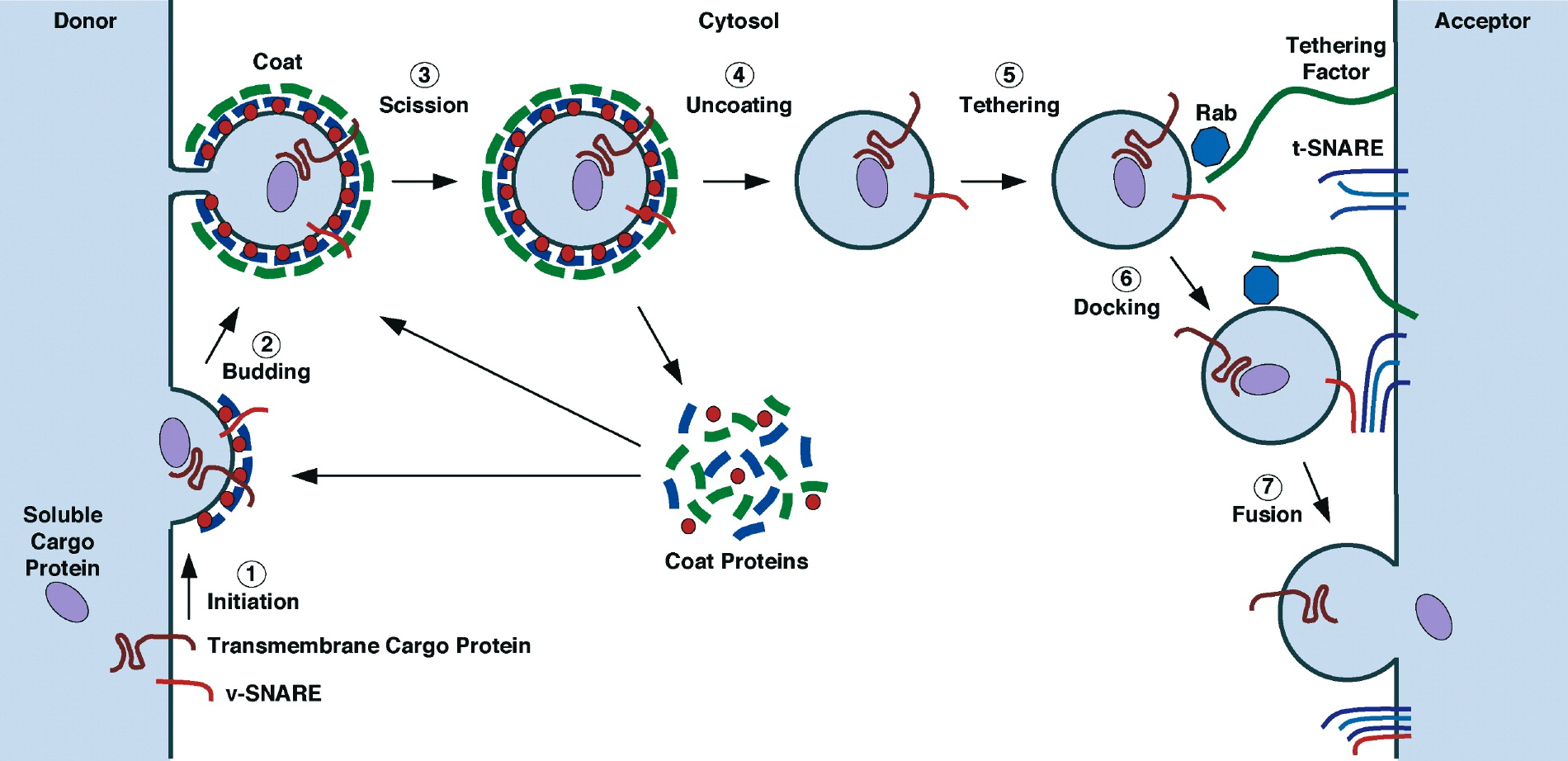 fat structure diagram 2007 ford taurus engine the mechanisms of vesicle budding and fusion: cell
