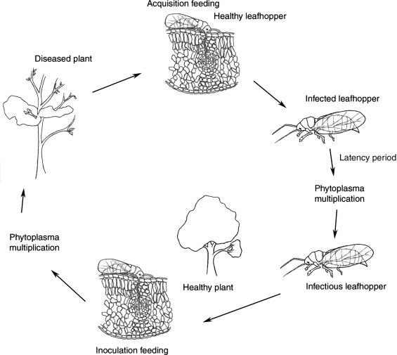 Phytoplasmas and their interactions with hosts: Trends in