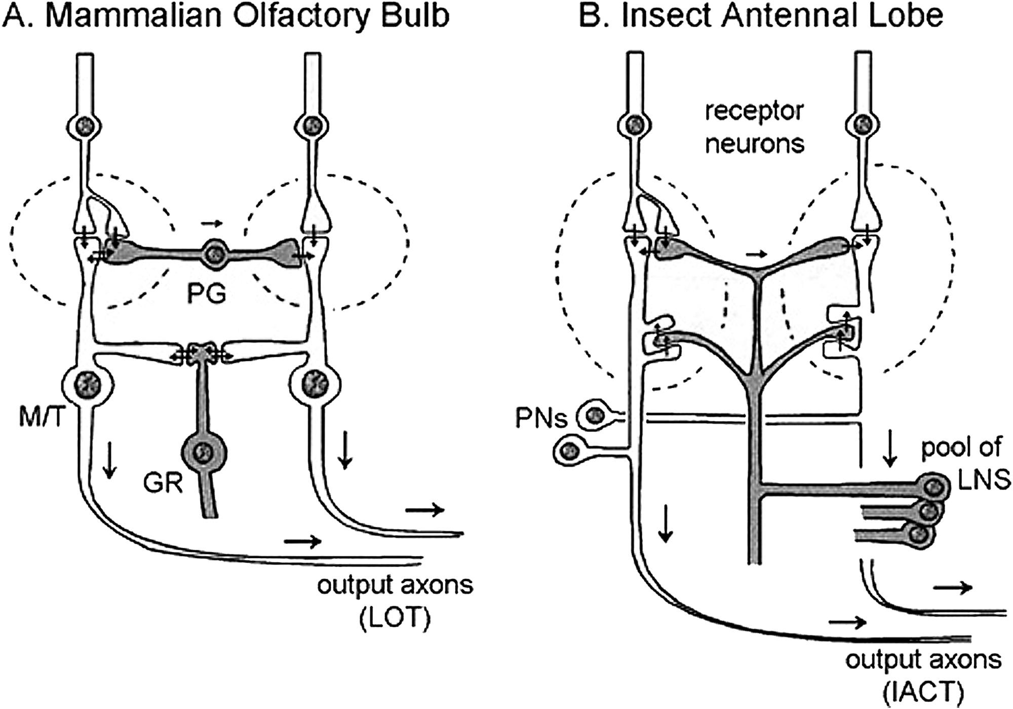 Olfaction Diverse Species Conserved Principles Neuron