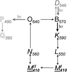 Two-Photon Absorption of Bacteriorhodopsin: Formation of a