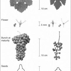 Flower Diagram Career Time Clock Lighting Historical Origins And Genetic Diversity Of Wine Grapes: Trends In Genetics