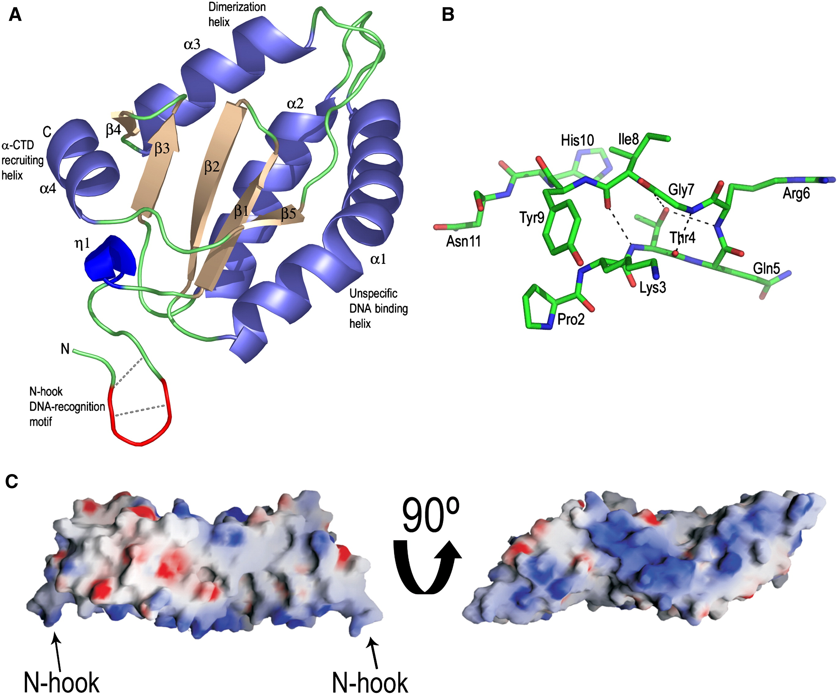 The Structure Of Phage 29 Transcription Regulator P4 Dna Complex Reveals An N Hook Motif For