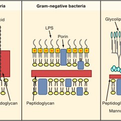 Gram Positive Cell Wall Diagram Online Database Pathogen Recognition And Innate Immunity