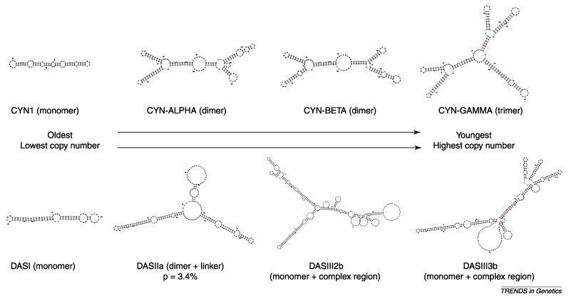 Common evolutionary trends for SINE RNA structures: Trends