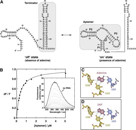 Folding of the Adenine Riboswitch: Chemistry & Biology