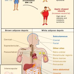 White Fat Cell Diagram Wiring For 1999 Jeep Grand Cherokee Limited Developmental Origin Of Fat: Tracking Obesity To Its Source: