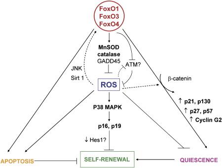 FoxO Transcription Factors and Stem Cell Homeostasis