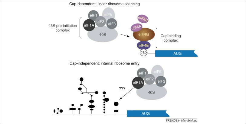 IRES-mediated pathways to polysomes: nuclear versus