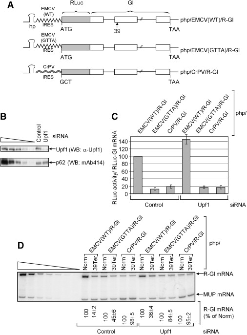 Upf1 Phosphorylation Triggers Translational Repression