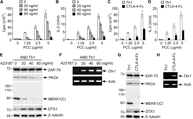 Deltex1 Is a Target of the Transcription Factor NFAT that