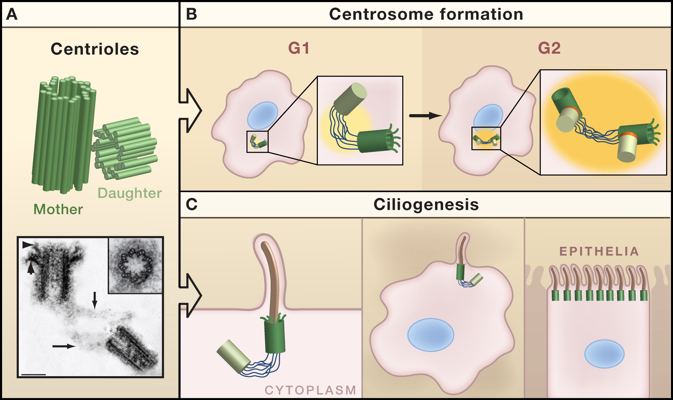 Centrioles Centrosomes And Cilia In Health And Disease Cell