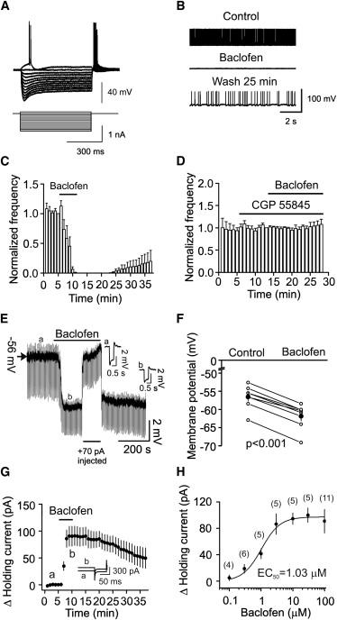 GABAB Receptor Activation Inhibits Neuronal Excitability