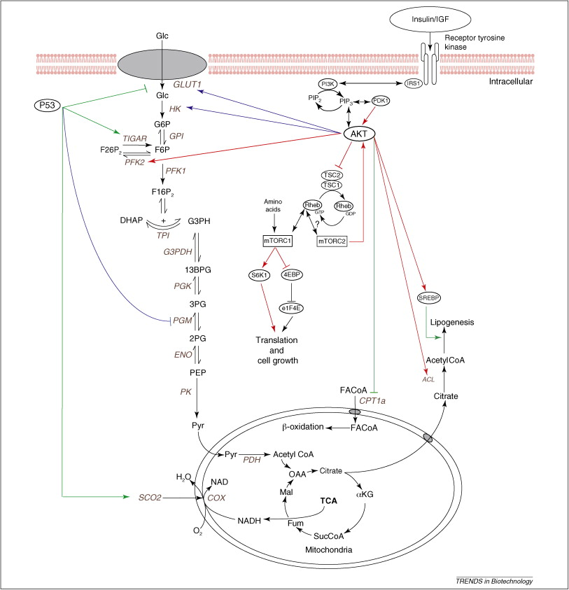 Glucose metabolism in mammalian cell culture: new insights