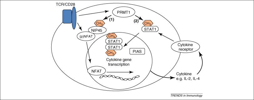 Protein arginine methylation: a new handle on T