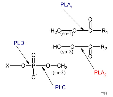 Catalytic and non-catalytic functions of human IIA