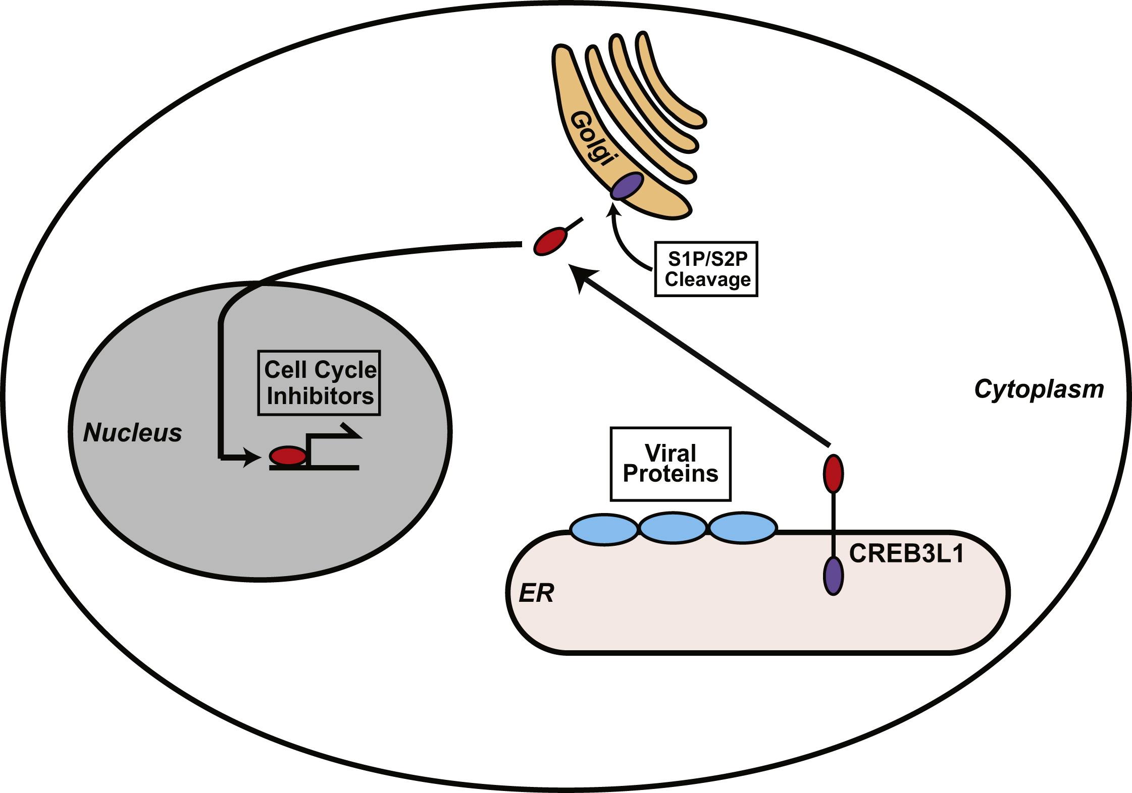 The Membrane Bound Transcription Factor Creb3l1 Is