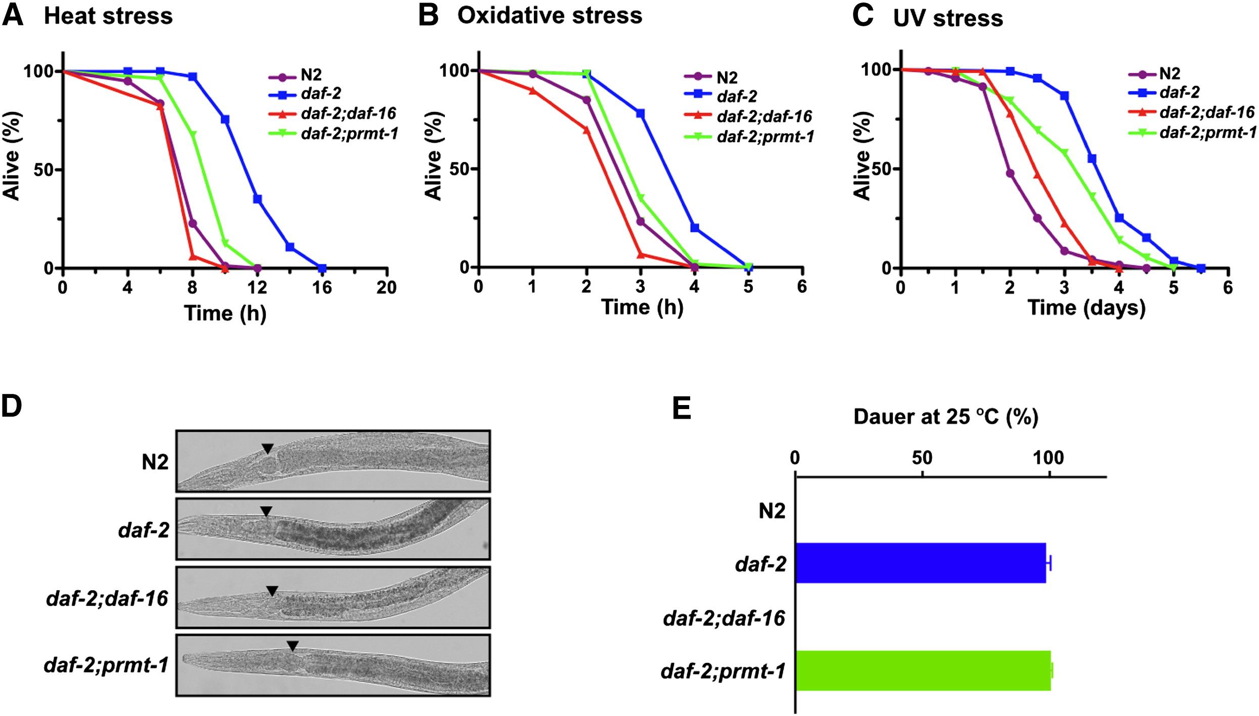 Asymmetric Arginine Dimethylation Determines Life Span In C Elegans By Regulating Forkhead