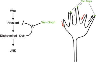 Vangl2 Promotes Wnt/Planar Cell Polarity-like Signaling by