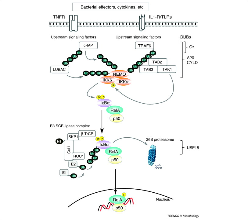 Microbial-induced immunomodulation by targeting the NF-κB