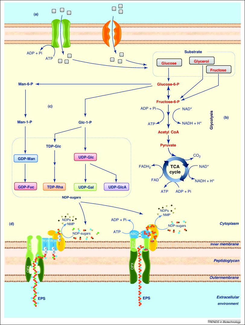 hight resolution of advances in bacterial exopolysaccharides from production to biotechnological applications trends in biotechnology