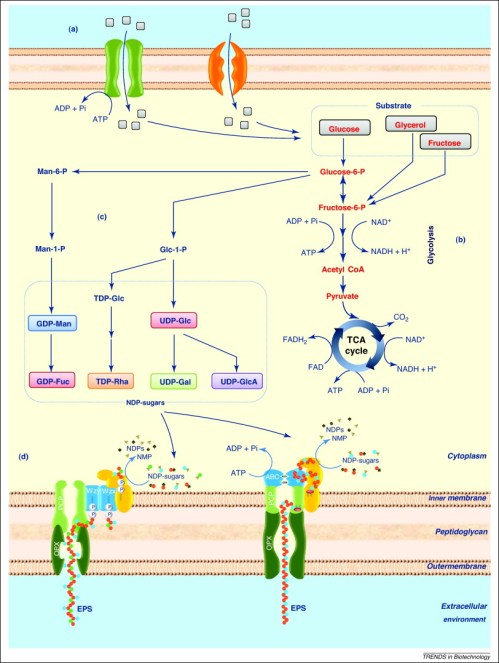small resolution of advances in bacterial exopolysaccharides from production to biotechnological applications trends in biotechnology