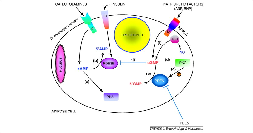 what is a molecular diagram 2004 nissan maxima wiring phosphodiesterase type 5 (pde5) in the adipocyte: novel player fat metabolism?: trends ...
