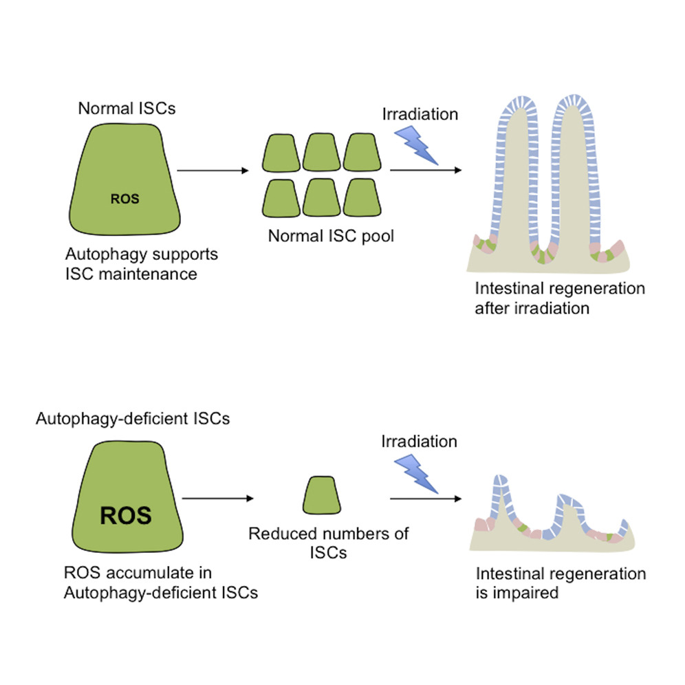 hight resolution of intrinsic autophagy is required for the maintenance of intestinal stem cells and for irradiation induced intestinal regeneration