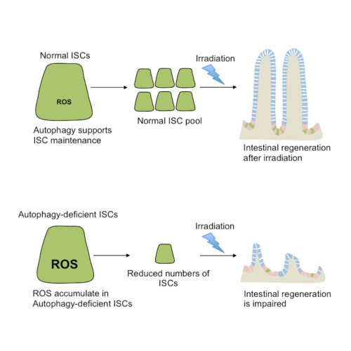 small resolution of intrinsic autophagy is required for the maintenance of intestinal stem cells and for irradiation induced intestinal regeneration