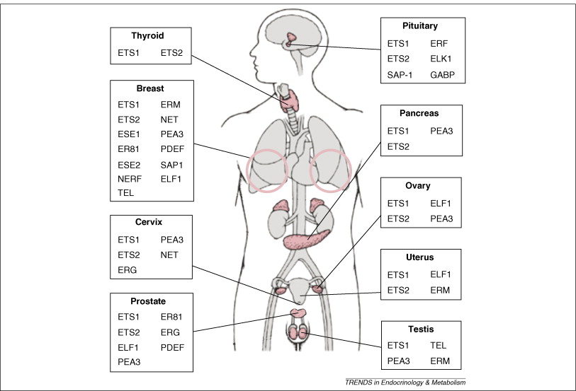 ETS transcription factors in endocrine systems: Trends in